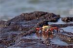 Sally Lightfoot, crabe des îles Galapagos, Equateur