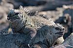 Marine Iguanas, Galapagos Islands, Ecuador