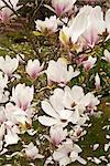 Close-up of Magnolia Blossoms on Magnolia Shrub