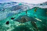 Manta Ray avec des poissons tropicaux, Bora Bora, Tahiti, Polynésie française