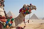 Chameau devant les pyramides, Giza, Égypte