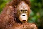 Ornagutang, Sepilok, Sepilok Forest Reserve, Sabah, Borneo, Ost-Malaysia, Malaysia