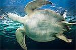 Sea Turtle, Vancouver Aquarium, Vancouver, British Columbia, Canada