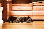 Noir Labrador Retriever Cross chiot dormir