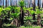Tree Ferns Recovering from Bushfire, Yarra Ranges National Park, Victoria, Australia