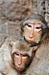Macaques crabiers à Phra Prang Sam Yot, Lopburi, Thailand