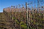 Vignes en automne, Pfalz, Rhénanie-Palatinat, Allemagne