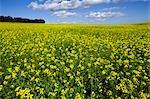 Wide view of flowering canola field under blue sky, Swartland Region, Western Cape Province, South Africa