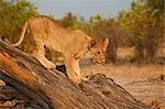 Lion (Panthera leo) cub climbing on tree, Okavango Delta, Botswana