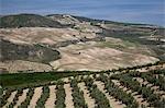 Oliveraie près de Cachin, Andalucia, Espagne