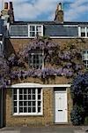 Wisteria on Kew Green, Kew, Greater London