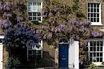 Glyzinien auf Kew Green, Kew, Großraum London