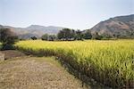 Rice crop in a field, Kumbhalgarh, Kelwada Tehsil, Rajsamand District, Rajasthan, India