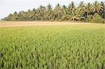 Rice paddy in a field, Shravanabelagola, Hassan District, Karnataka, India