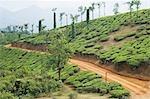 Tea plantation in a field, Mysore, Karnataka, India
