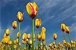 Tulips in a field, Tulip Garden, Srinagar, Jammu and Kashmir, India