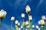 Low angle view of tulips, Tulip Garden, Srinagar, Jammu and Kashmir, India