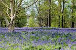 Un champ de jacinthes au printemps, Winkworth Arboretum, Godalming, Surrey, Angleterre, Royaume-Uni, Europe