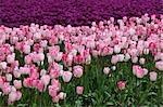 Tulip Farm, Skagit Valley, Washington, USA