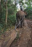 Éléphant au travail teck de remorquage connecte dans la forêt, près de Lata, État Shan, au Myanmar (Birmanie), Asie