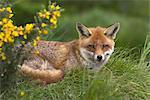 Red fox, Vulpes vulpes, captive, United Kingdom, Europe