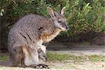 Wallaby tammar (Macropus eugenii), Parc National de Flinders Chase, Kangaroo Island, Australie-méridionale, Australie, Pacifique
