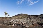 Volcan et palmiers, Lanzarote, îles Canaries, Espagne