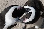 Two Jackass Penguins (Spheniscus demerus) preening, Boulders National Park, Simonstown, Western Cape Province, South Africa