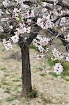 Mandelbaum in Blüte, Valencia, Provinz Valencia, Valencia, Spanien