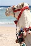 Egypt, Sharm-el-Sheikh, Nabq Bay, camel.