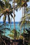 Tanzania, Zanzibar (Unguja island), coconut palms.