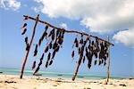 Tanzanie, Zanzibar (île d'Unguja), séchage des algues rouges.