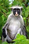 Tanzanie, Zanzibar (île d'Unguja), forêt de Jozani, singe colobus.