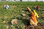 L'Inde, l'Haryana, la récolte de pommes de terre.