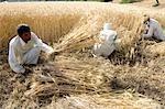 L'Inde, l'Haryana, la récolte de riz.