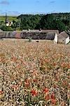 France, champs Centre, Rouvres, du blé