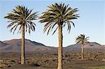 Spanien, Kanarische Inseln, Lanzarote, Palmen