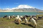 China, Xinjiang, lake Karakul and Muztagh Ata, goats