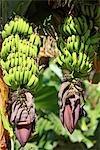Spain, canary islands, Gomera, bunch of bananas