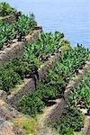 Spain, canary islands, Gomera, bananas harvest