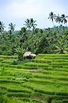 Rizières de Bali, en Indonésie,