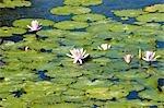 Indonesia, Bali, Candidasa, water lilies