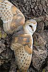 Effraie des clochers (Tyto alba), captif, Cumbria, Angleterre, Royaume-Uni, Europe