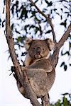 Koala (Phascolarctos cinereus), Kangaroo Island, Australie-méridionale, Australie, Pacifique