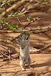 Brant's whistling rat (Parotomys brantsii) feeding, Kgalagadi Transfrontier Park, encompassing the former Kalahari Gemsbok National Park, South Africa, Africa