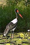 Female saddle-billed stork (Ephippiorhynchus senegalensis), Kruger National Park, South Africa, Africa