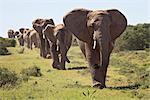 Line of African elephant (Loxodonta africana), Addo Elephant National Park, South Africa, Africa