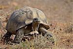 Leopard tortoise (Geochelone pardalis), Karoo National Park, South Africa, Africa