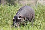 Hippopotamus (Hippopotamus amphibius) out of the water grazing, Kruger National Park, South Africa, Africa