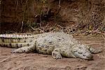 Crocodile du Nil (Crocodylus niloticus), réserve nationale de Masai Mara, Kenya, Afrique de l'est, Afrique
